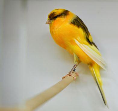 Harga Pasaran Burung Kicau Kontes Mania  DAFTAR HARGA BURUNG KICAU 2018 TERBARU Harga Pasaran Burung Kicau Kontes Mania