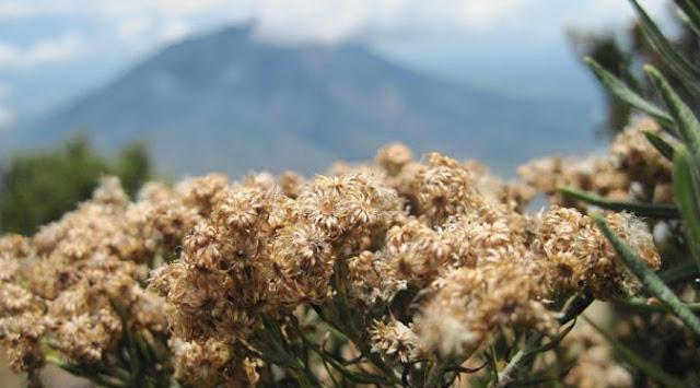 bunga edelweis di gunung merbabu