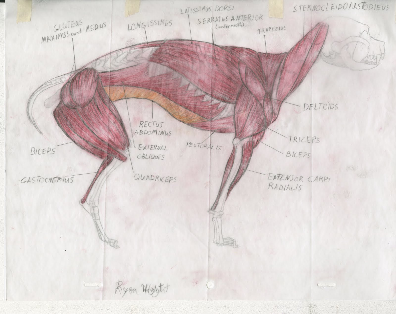 Dog Hind Leg Diagram Line Voltage Thermostat Wiring Anatomy Rear View Muscle Elsavadorla