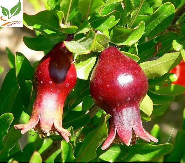 Chọn cây cảnh ngày tết thế nào cho may mắn cả năm Luu-an-do