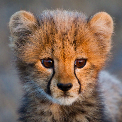 original picture of cheetah cub model for experimental opus pixellatum mosaic