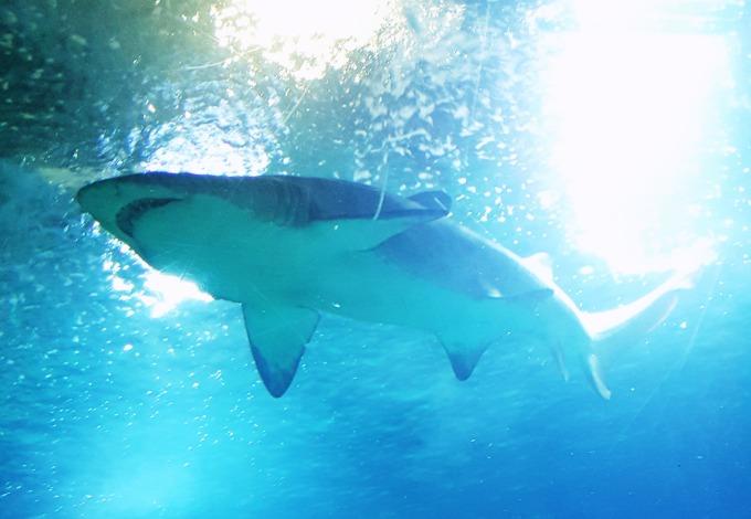 tiburon-toro