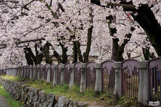 天神中央公園の桜、福岡