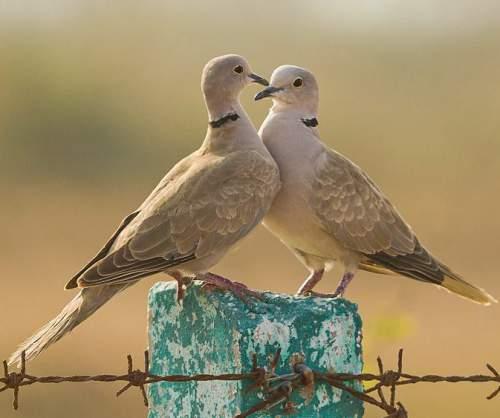Birds of India - Photo of Eurasian collared dove - Streptopelia decaocto