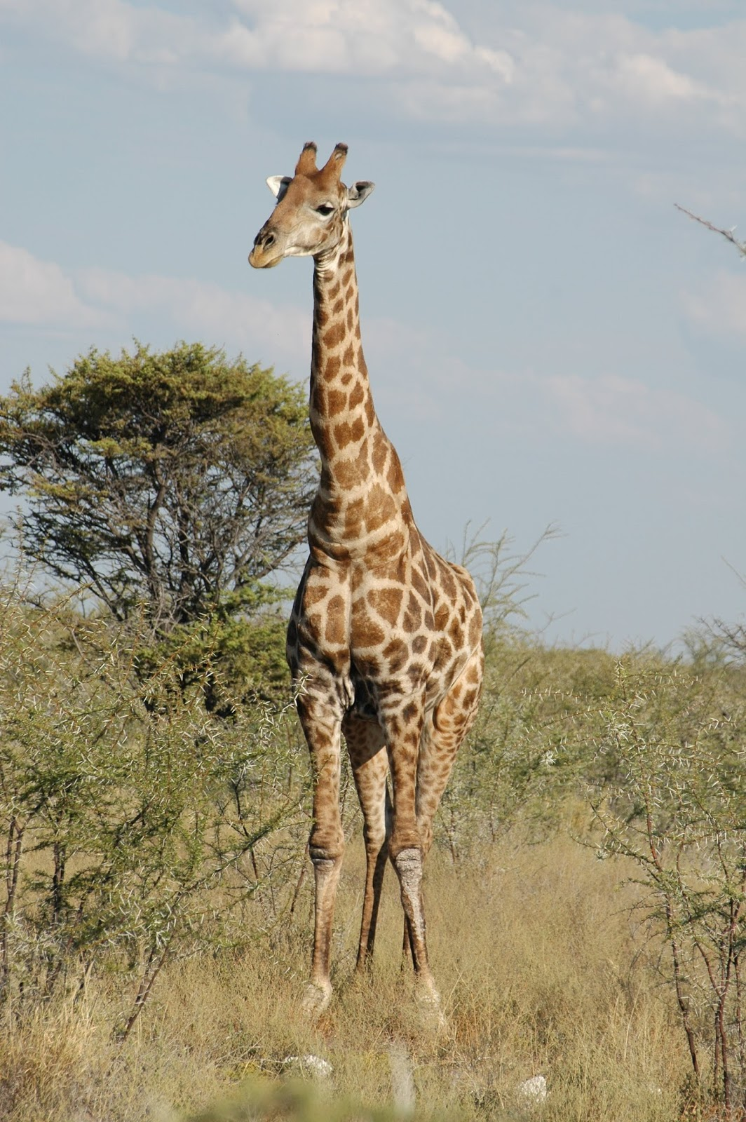 Picture of a giraffe.
