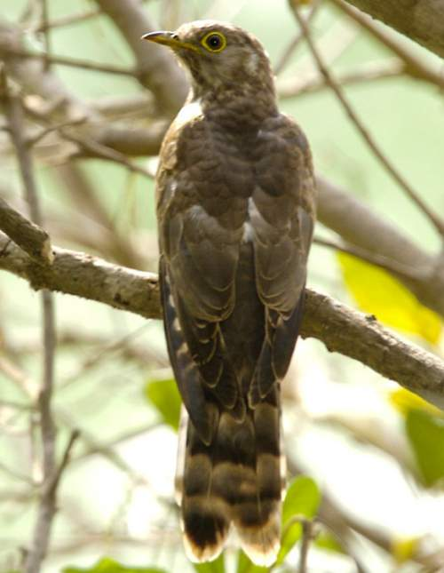 Indian birds - Large hawk-cuckoo - Hierococcyx sparverioides