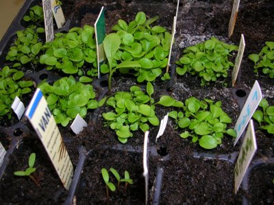 How to grow Lobelia from seed