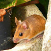 Cara Membasmi Tikus Di Rumah, Praktis, Alami dan Terbukti Ampuh