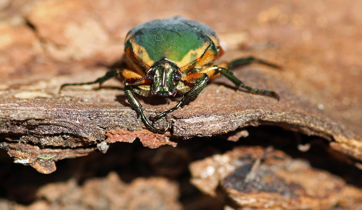 MObugs: Green June Beetle - photo#15