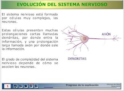 http://recursostic.educacion.es/secundaria/edad/2esobiologia/2quincena9/imagenes1/nervioso.swf