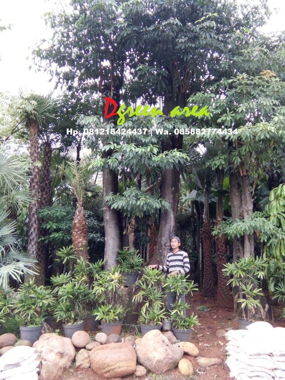 Tukang Taman Murah  JUAL POHON PULE DENGAN HARGA PALING