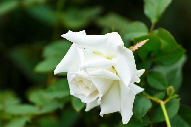 hoa hồng bạch đẹp nhất 5