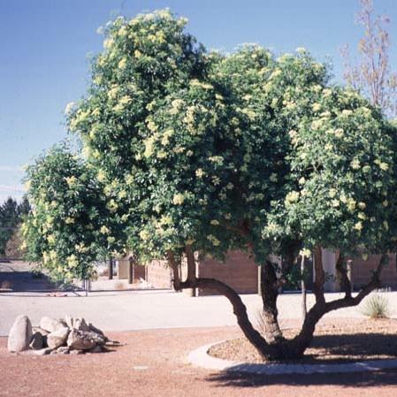 Malinalli herbolaria m dica sauco elder or elderberry for Diferencia entre arboles de hoja caduca y hoja perenne