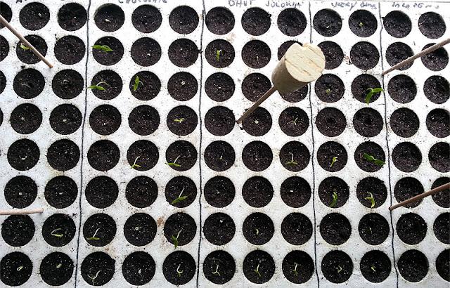 Setveni plato s sadikami čilija različne vrste