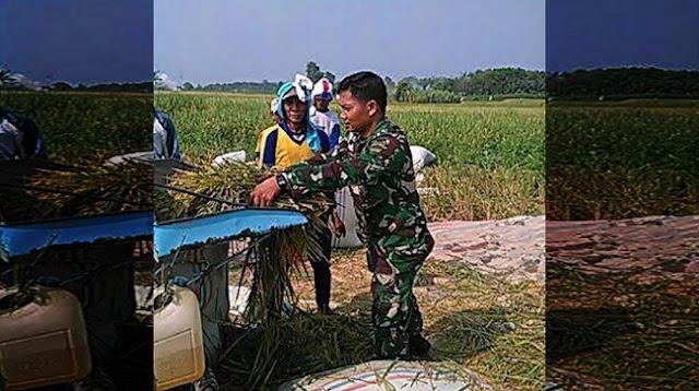 Anggota Koramil 12 / Bandar Kalipah Dampingi Petani Panen Padi
