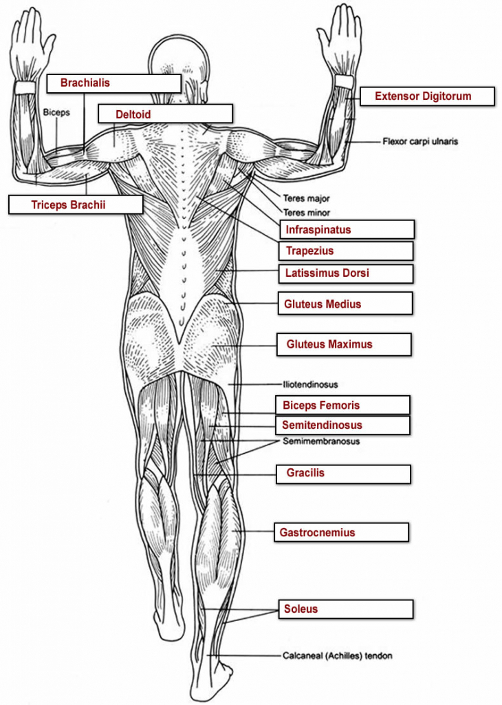 Muscle Anatomy Quiz Gallery - human anatomy organs diagram