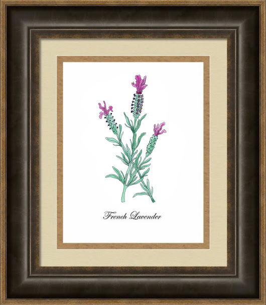 Lavender Botanical Drawing And Painting - Coloring Book Update
