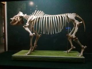 skeleton,bone,muzium sabah