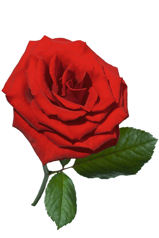 Картинки для детей роза на прозрачном фоне