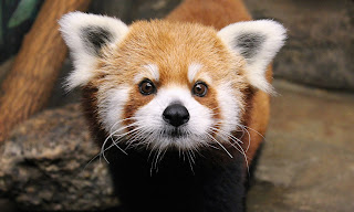 Red Panda HD Wallpapers