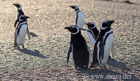 pingüinos en San Lorenzo Peninsula Valdes