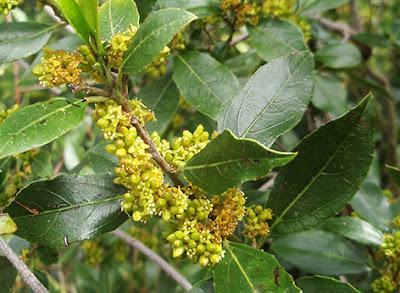 Flores masculinas del aladierno