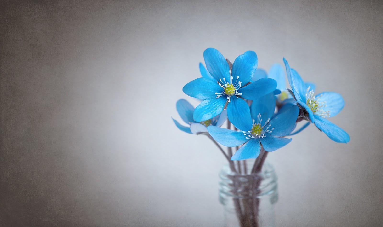 硝子の花瓶の青い雪割草の花々