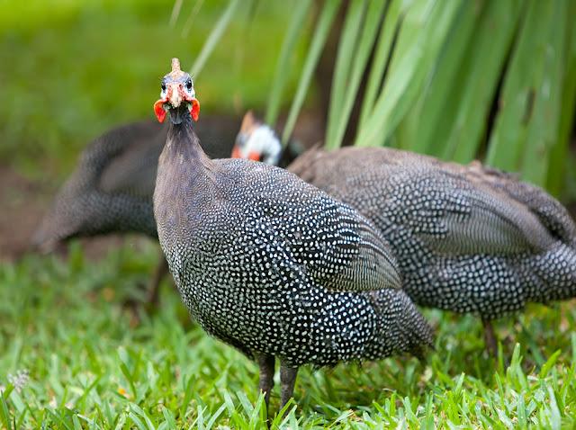 Ayam Mutiara (Guinea Fowl)