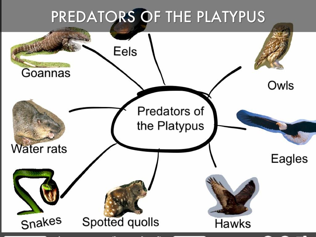 Duck- Billed Platypus, the amazing primitive mammal | akshay