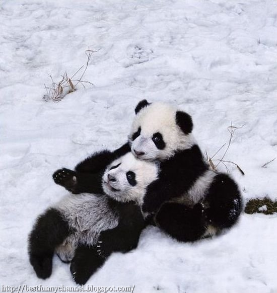 Two funny pandas.