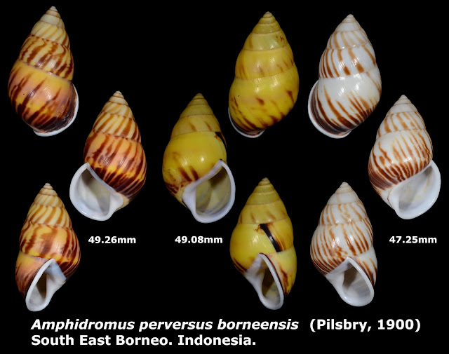 Amphidromus perversus borneensis 47.25 to 49.26mm