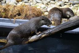 「ゆき」と「はな」 可愛いユーラシアカワウソ カワセミ水族館