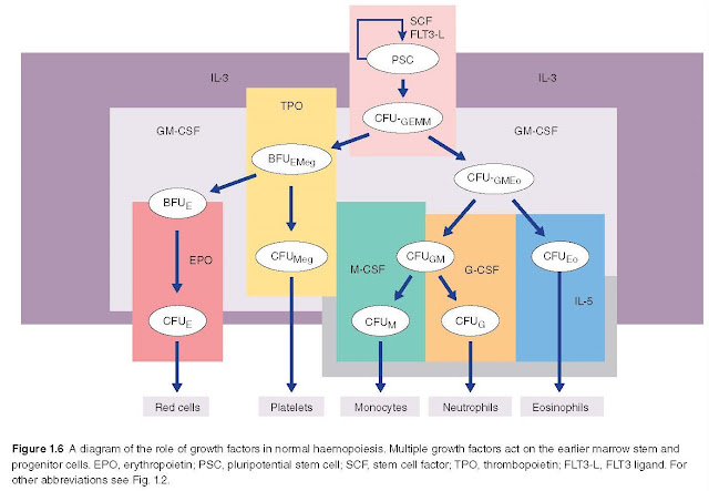diagram of the role of growth factors in normal haemopoiesis. Multiple growth factors act on the earlier marrow stem and progenitor cells. EPO, erythropoietin; PSC, pluripotential stem cell; SCF, stem cell factor; TPO, thrombopoietin; FLT3‐L, FLT3 ligand. For other abbreviations see Fig. 1.2.
