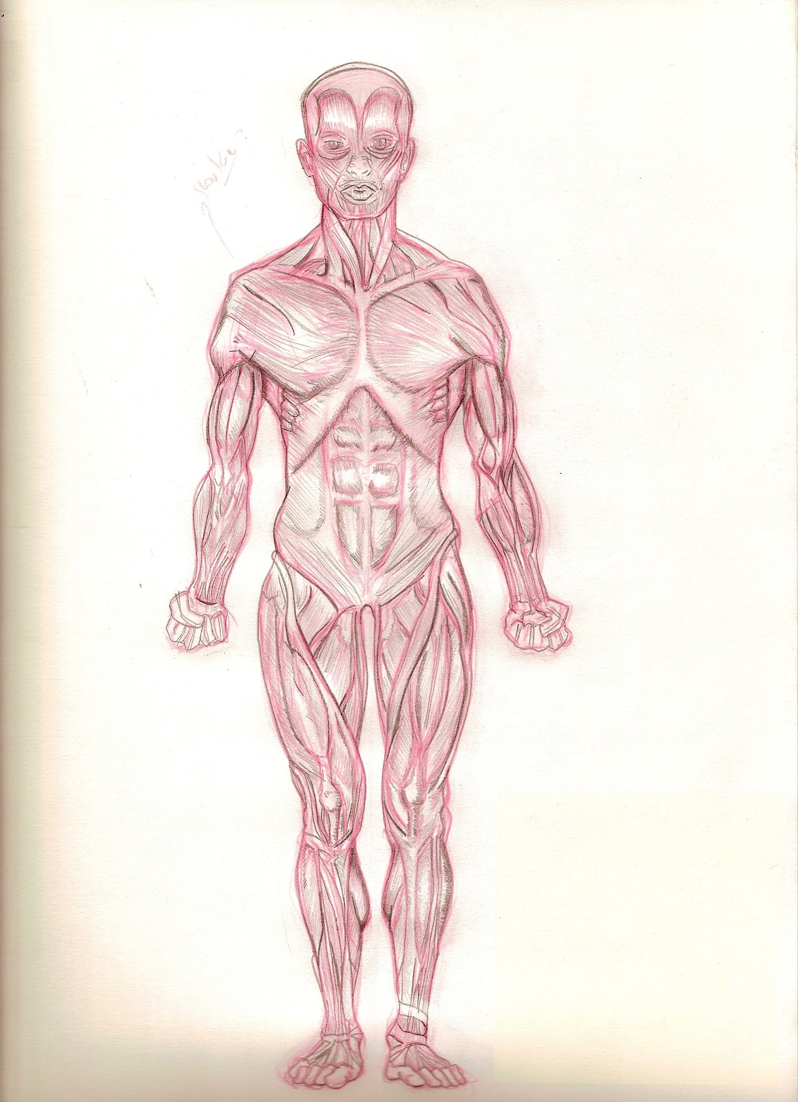 Muscular System Diagram Cake Ideas And Designs