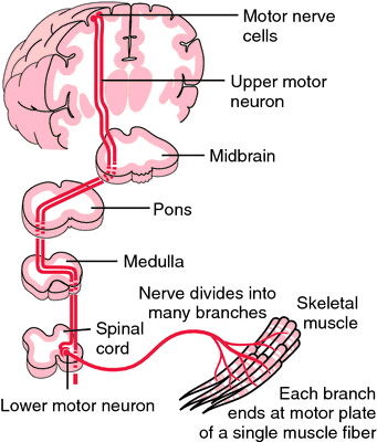 Why motor neuron diseases causes the motor neuron to die