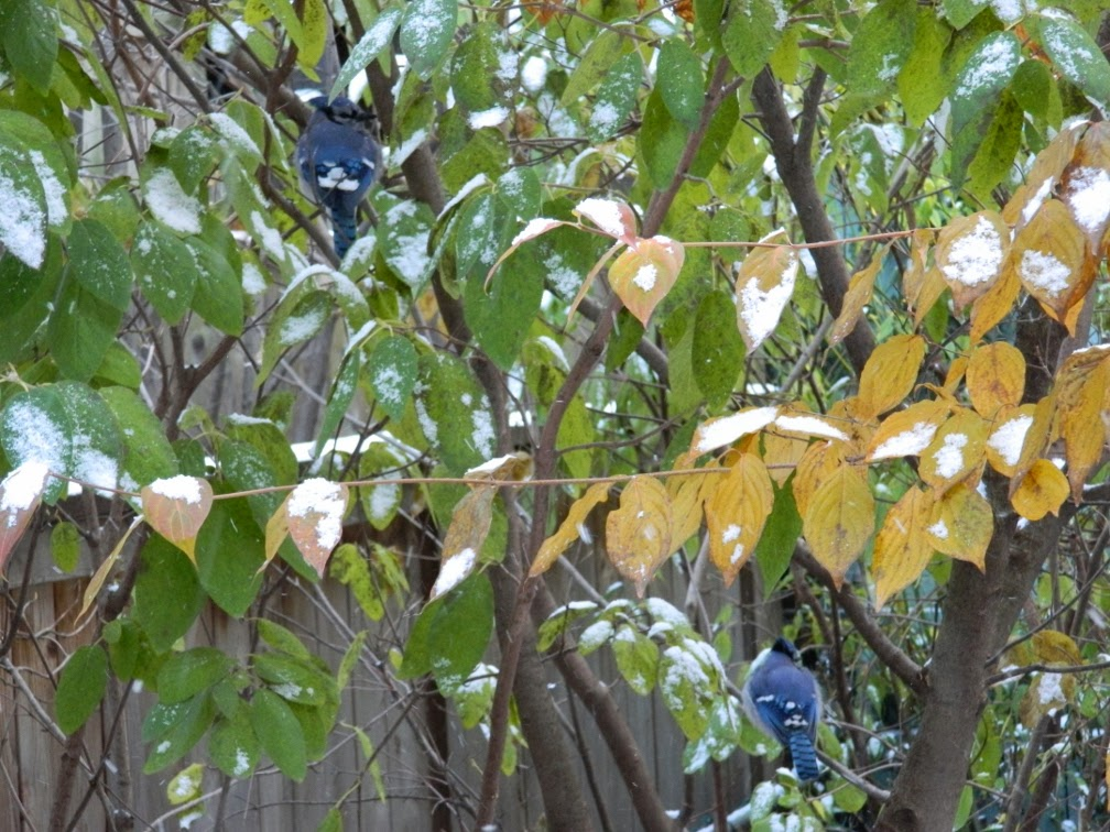Two Blue Jays by garden muses-a Toronto gardening blog