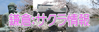 鎌倉の桜情報