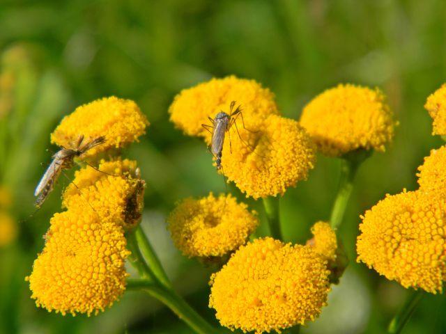 wrotycz pospolity, komary, owady, rośliny łąkowe