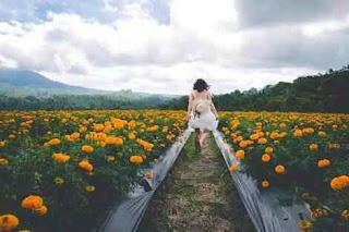 Gambar ladang bunga marigold bali