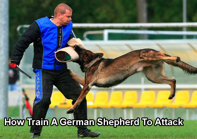 How Train A German Shepherd To Attack