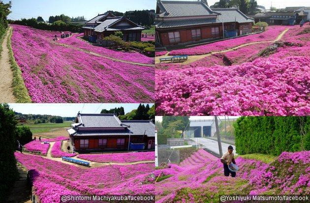 Tanaman bunga Shibazakura yang berada di sekeliling rumah kakek Kuroki