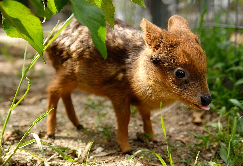 Cutest Animals In The World Pudu Deer