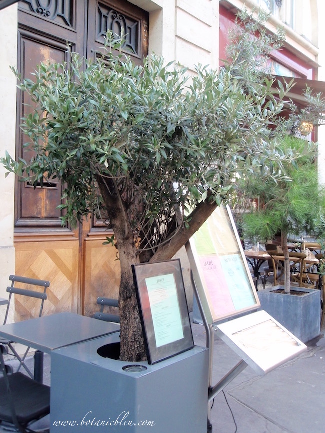 potted-olive-tree-outside-paris-sidewalk-cafe