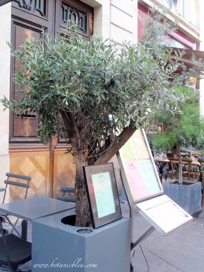 potted-olive-tree-outside-paris-sidewalk-cafe