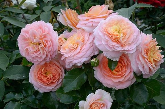 Concerto сорт розы фото купить саженцы Минск