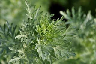 Artemisia, l'erba magica per la salute
