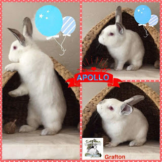 Photo of Apollo the house trained rabbit