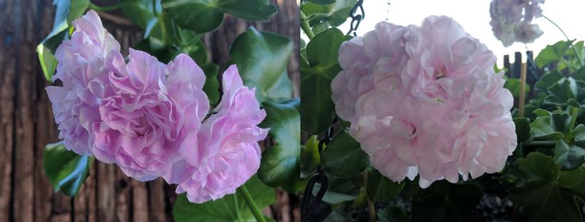 Patricia ivy geranium 2