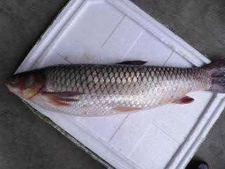 Cá giòn là cá gì? sống ở đâu? giá bao nhiêu tiền 1kg?