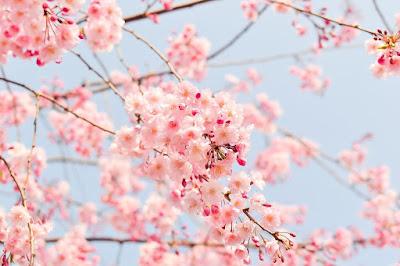 pembe kiraz çiçekleri